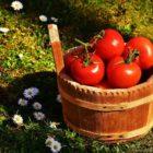 Skörd-Tomater-Blommor