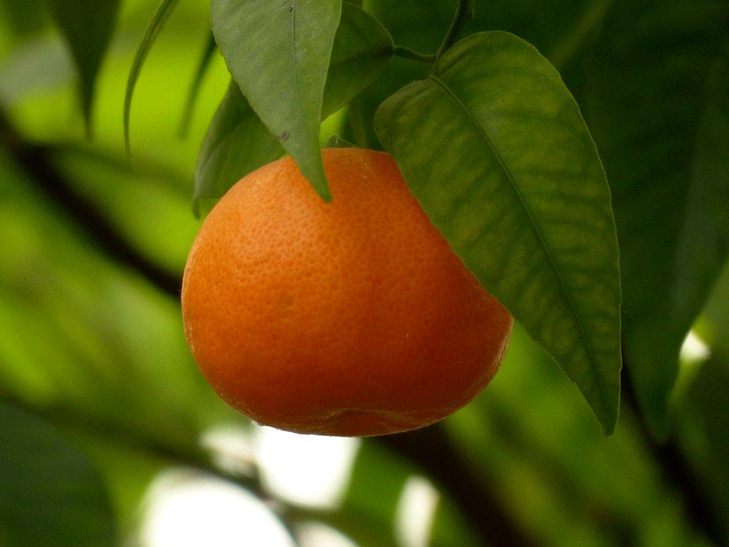 mandarin-trädgård