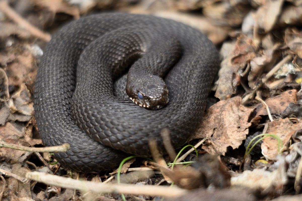 Ormar och Svanar
