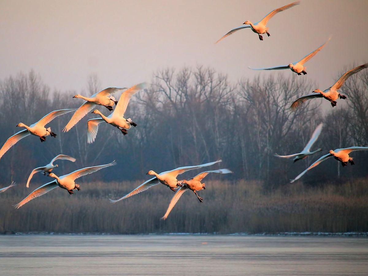 Svanar - Fåglar